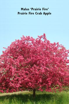 Best crabapples for your yard small spaces spaces and gardens prairiefire crab apple tree malus prairifire mightylinksfo