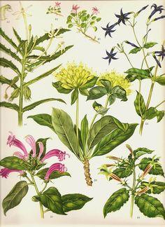 Vintage Botanical Print 1970 Color Art Print Wild Flowers Book PLATE 173 Flor de Muerto Green Pink and Blue Flower Summer Garden Plants