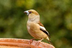 MME - A tápláléka köré épített madár - meggyvágók a tavaszi kertben