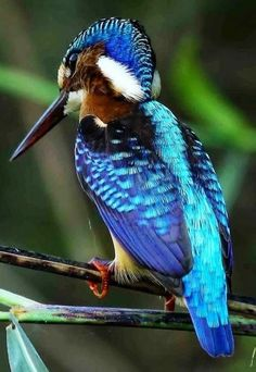 Malachite kingfisher. Unknown photographer.