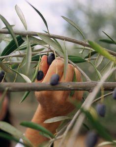 olive picking #liguria