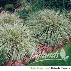 "Variegated Japanese Sedge - Carex morrowii 'Aurea Variegata'.Water Needs: High Foliage Color:Multi-Coloured Landscape Uses: Border Container Mass Planting Wet Areas Garden Styles: Traditional Modern Edible Zen Light Needs: Partial Sun/Shade Plant Types: Perennials Grass Height: 0-12"" Spread: 12-24"" Flower Colors: Brown Flower Seasons: Spring Summer Special Features: Deer Resistant Stem Colour Fall Colour Winter Interest Growth Habits: Compact Upright Ground Cover Cold Hardiness: Zone 4"