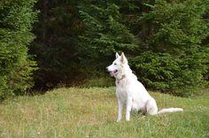 White Swiss Shepherd aka  wolf