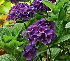 This hydrangea can be planted in full to partial shade!