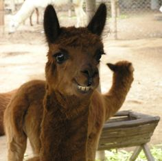 grinning baby alpaca