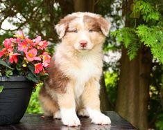 #AustralianShepherd #Charming #PinterestPuppies #PuppiesOfPinterest #Puppy #Puppies #Pups #Pup #Funloving #Sweet #PuppyLove #Cute #Cuddly #Adorable #ForTheLoveOfADog #MansBestFriend #Animals #Dog #Pet #Pets #ChildrenFriendly #PuppyandChildren #ChildandPuppy #LancasterPuppies www.LancasterPuppies.com Australian Shepherd Puppies, Lancaster Puppies, Animals Dog, Feeling Lonely, Puppies For Sale, Mans Best Friend, Puppy Love, Corgi, Pets