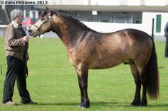 sooty buckskin - Connemara stallion Clegganbay Tower