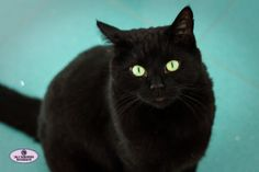 Black cat with green eyes on aqua background