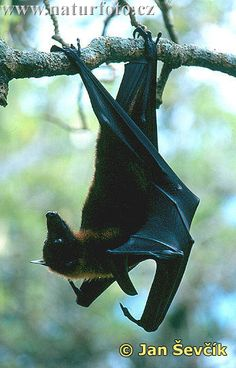 Pteropus vampyrus Pictures, Pteropus vampyrus Images | NaturePhoto All About Bats, Animals And Pets, Cute Animals, Bat Species, Bat Flying, Wings Drawing, Fruit Bat, Vampire, Cute Creatures
