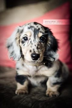 Long Haired Dapple Doxie Puppy - the perfect doxie addition to my little doggie family!!! :) #dachshund