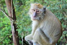 Monkey at the Tiger Cave Temple in Krabi Thailand / Apina Tiikeritemppelillä Krabilla Thaimaassa. #Monkey #Krabi #Thailand #Tigercavetemple #Vestabox #Blogi #Matkailu