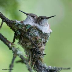 The BEST hummingbird baby pic!feathersandbeaks: Rufous Hummingbirds (Selasphorus rufus) (photo by Amar Athwal) Pretty Birds, Beautiful Birds, Animals Beautiful, Cute Animals, All Birds, Little Birds, Love Birds, Hummingbird Nests, Hummingbird Drawing
