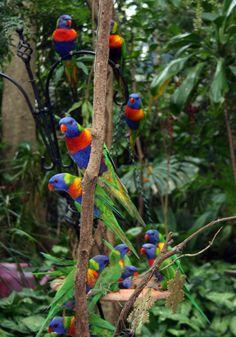 Rainbow lorikeets in Australian backyard. These beautiful birds visit my garden every day.
