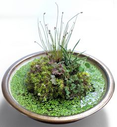 amazing wabi kusa would use utricularia instead of duckweed but nice little island would make a great office plant add bonsai office interior