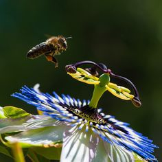 Bee and passion fruit flower... by Nick Cagouras
