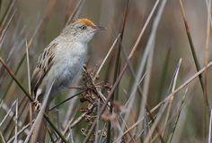 Foto boininha (Spartonoica maluroides) por Caco Schwertner | Wiki Aves - A Enciclopédia das Aves do Brasil