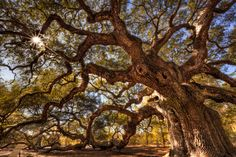 Angel Oak in Charleston, South Carolina is said to be the oldest living thing east of the Mississippi River.