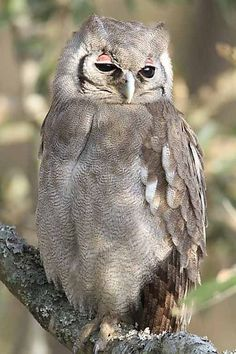 Giant Eagle Owl in South Africa ~ Kruger National Park