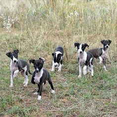 ... Greyhound pictures, information, training, grooming and puppies