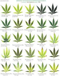 Marijuana Nutrients And Fertilizer Deficiency  http://thehempoilbenefits.com