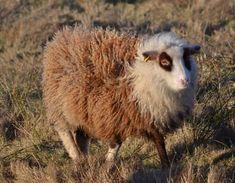 Moorit sneedled setnin.  Look, it's a collie sheep.