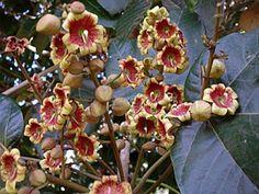 Xixá -  recebe os nomes de: Araxixa, Chichá, Amêndoa do cerrado, Castanha de macaco, Mandoví e Pau de bóia.  Originária da Floresta Atlântica. Árvore magnífica e frondosa, atingindo de 10 a 20 metros de altura. As flores são masculinas e femininas na mesma planta e nascem em um tipo de cacho composto de até 12 cm de comprimento com 15 a 30 flores de coloração alaranjada ou púrpura.