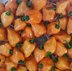 """Living soil habaneros ♻ #feedthesoil #organic #fromseed #wormgrown #habanero #peppers #straightfire #seedtosauce #hotsauce #peppersauce #nofilter "" - terraworms (Instagram)"