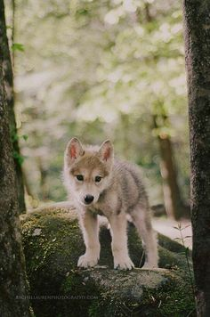 Wolf pup >3