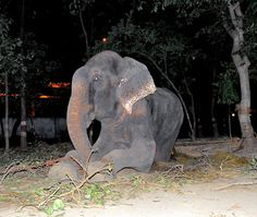 Raju The Elephant Cries After Being Rescued Following 50 Years Of Abuse, Chains