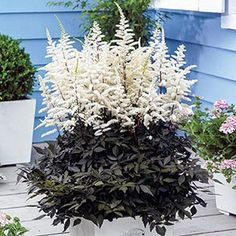 Astilbe Cappuccino. A true one-of-a-kind! Fluffy white plumes contrast beautifully with coffee-colored foliage. 'Cappuccino' creates quite a buzz in a patio container thanks to the year-round attractiveness of its foliage. Best in regular to moist soils.