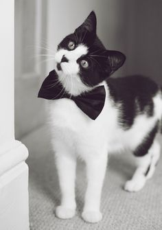There's just something so irresistible about a black and white cat! The bow tie is also a cute touch. :-)