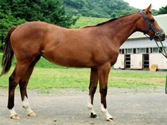 Karabakh horse; the main colors of the breed are chestnut and bay, with characteristic golden tint of the breed. They can also be gray. White markings are allowed.  The average height is between 14-15hh.