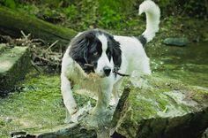 #landseer #dog #puppy