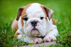 """""""What you lookin at?""""... #Bulldog puppy found on fundogpics.com"""