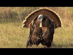 "▶ ""Hot"" For Turkey - YouTube VIDEO:  Biology Professor  Richard Buchholz Talks Turkeys on NPR's Science Friday  |  University of Mississippi College of Liberal Arts"