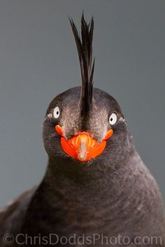 SPIKE The Crested Auklet