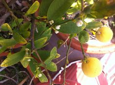 orange tree blossoming again...saved with love!