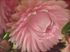 martha's vienna: Pink Strawflowers!