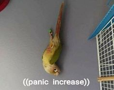 Most 20 Hilarious Funny Pictures Funny Animal Memes, Funny Animals, Cute Animals, Animals Beautiful, Funny Birds, Cute Birds, Cockatiel, Budgies, Reaction Pictures