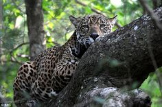 The Caiman Ecological Refuge's project to lessen the jaguars' fear of humans featured on last week's BBC programme Jaguars: Brazil's Super Cats (pictured)