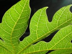 9 Motivos por los que debe tener hojas de Papaya en su botiquín medicinal!