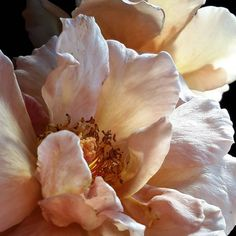 Do More With Less Thanks To the Luxury and Elegant Touch of PullCast - Blumen My Flower, Flower Art, Pink Flowers, Beautiful Flowers, Coral Peonies, Flowers Nature, Flower Photos, Planting Flowers, Flower Arrangements