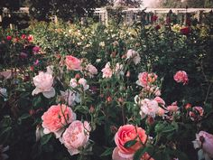 leaberphotos:  Innerbloom  Huntington Library Rose Garden Los Angeles  instagram