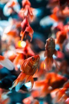 Goldfish by Hendrik Schicke Aquascaping, Japanese Goldfish, Carpe Koi, Pet Fish, Fish Fish, Golden Fish, Koi Carp, Beautiful Fish, Sea World