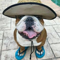 """2,249 Beğenme, 45 Yorum - Instagram'da Bulldog Love (@thebulldoglove): """"Want unique Bully products?CLICK the link in my bio @thebulldoglove to find it!   Credit:…"""""""