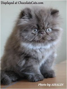 Chocolate Kitten Pictures - chocolate persians, bicolors, tabby, Himalayans #PersianCat
