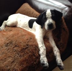 English Pointer Puppy - look at the size of those paws.  Too cute!