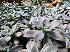 Cultivo intensivo de una planta suculenta