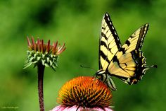 Eastern Tiger Swallowtail Butterfly on Coneflower