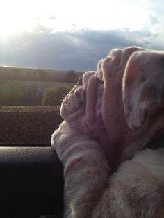 Great photo | Dreaming Bulldog #English #Bulldog #pets #best #dogs #bulldogs #animals #pooch #canine #puppy #love #englishbulldog #dreaming